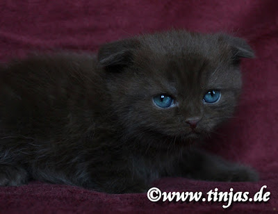 Chocolate Kitten Scottish Fold Tinjas Katzenzucht 2017 05 20 5