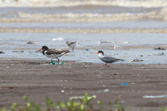 River Tern and Eurasian Oystercatcher