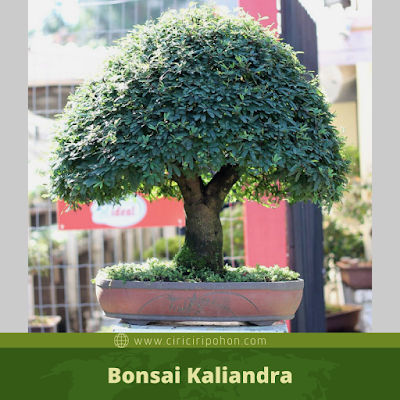 Bonsai Kaliandra