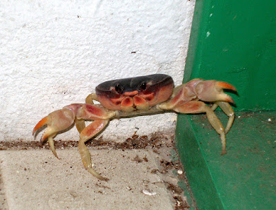 Cornered crab with outstretched claws on patio.