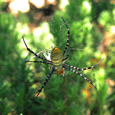 Roy Orbison the Spider, top side view, banded orb spider