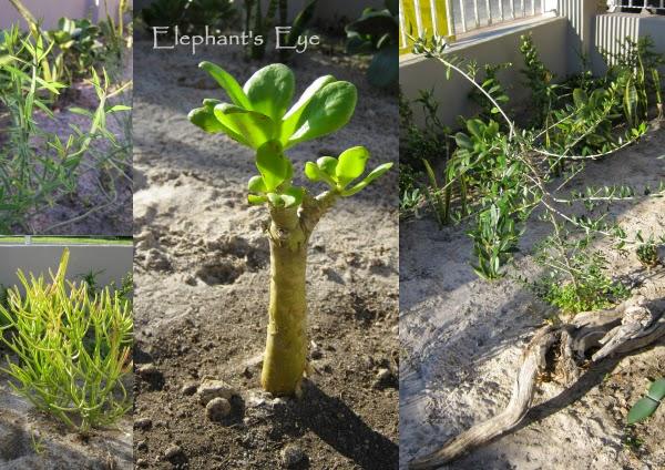 Euphorbia mauritanica, Tylecodon paniculatus, Olea, Euphorbia tirucalli Firesticks