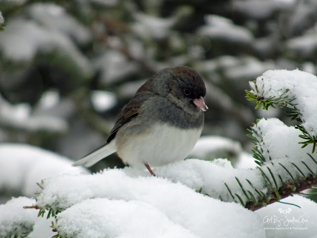 Junco in Winter Photo