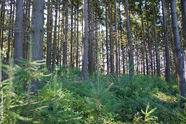 Régé en forêt de sapins, France