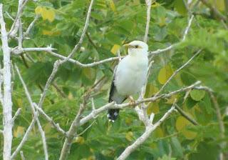 Cara Merawat Burung Jalak Putih