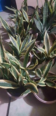khasiat tanaman daun lidah mertua