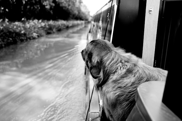 large dog with its head looking out from the side of a canal boat as it travels along the water