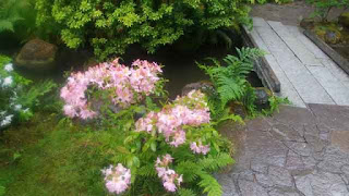 Azalea in bloom in the Portland Japanese Garden