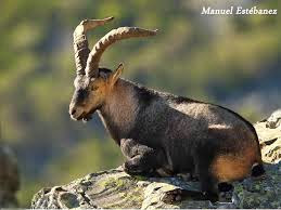 choto, cabra hispánica, Beceite, Beseit, Ibex, mascle, salvache