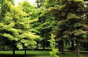 Trees Of Santa Cruz County Acer Pseudoplatanus Atropurpureum