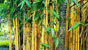 bamboo-yellow,www.healthnote25.com