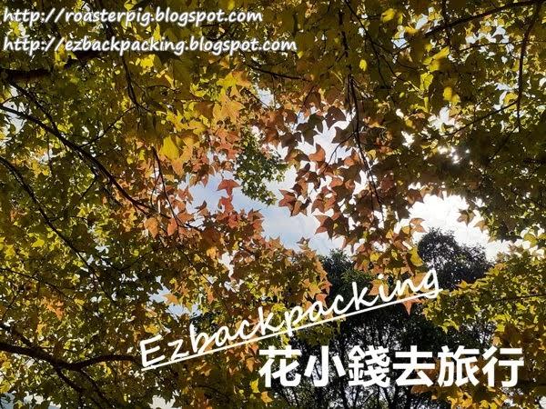 2020年12月大棠紅葉+楓香林楓葉實拍