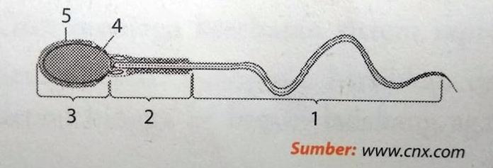 Perhatikan gambar struktur sperma berikut