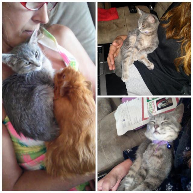 Gray Kitten photos of sleeping kitten, kitten with guinea pig - CarmaPoodale