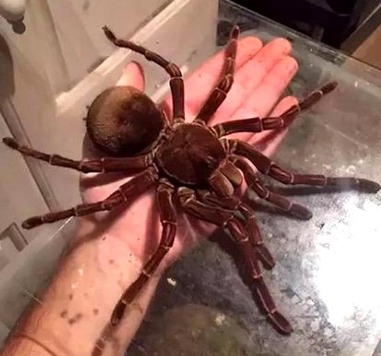 Maior Aranha do Mundo vive no Brasil-  Aranha Golias comedora de pássaros - Img 4