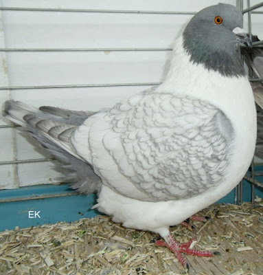 pigeon utility