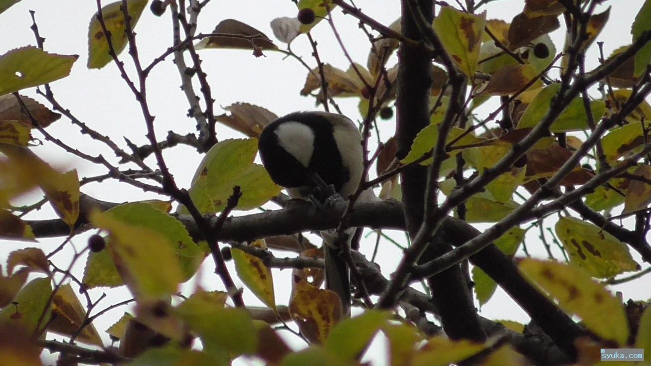 木の実を食べるシジュウカラ