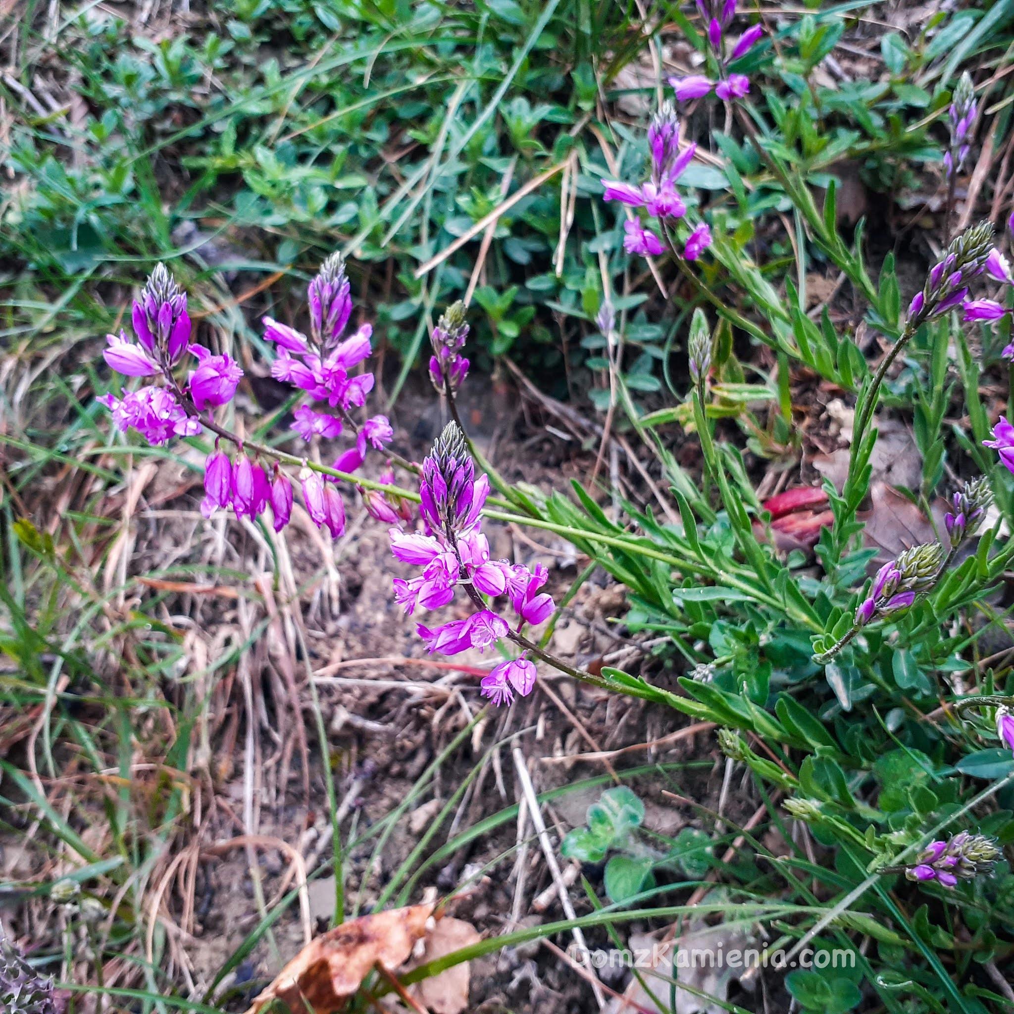 Kwiaty toskańskie, wiosna w Marradi, Dom z Kamienia blog