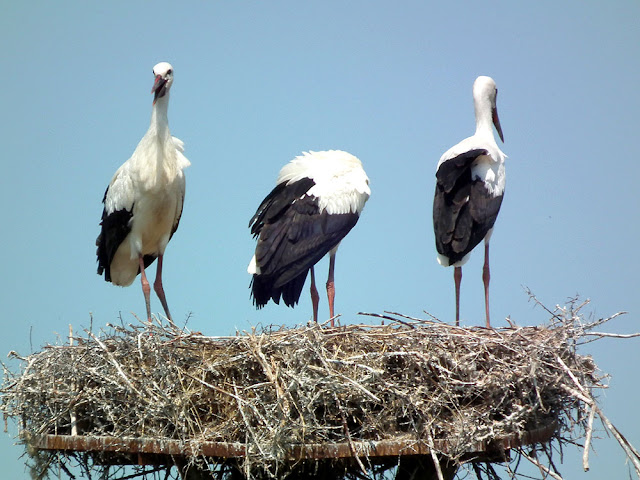 Young White Storks Ciconia ciconia on the nest, Brouage marshes, Charente-Maritime. France. Photo by Loire Valley Time Travel.