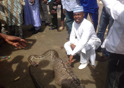 snake swallows goat in abuja
