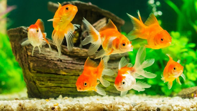 Jenis - Jenis Ikan Hias Air Tawar yang Mudah Dipelihara