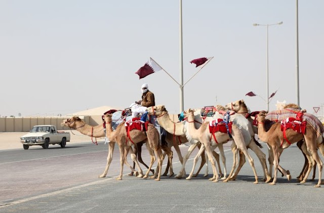 20 fun facts about camels in Qatar