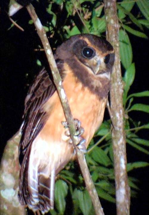Lechuzón mocho chico: Pulsatrix koeniswaldania