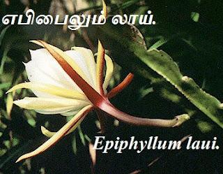 Epiphyllum laui sweet flower