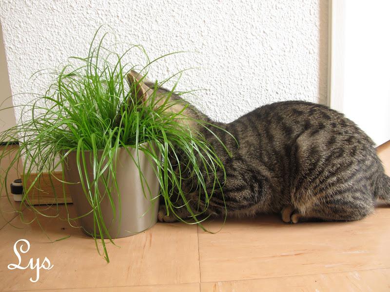 faire pousser de l 39 herbe chats chats forum animaux. Black Bedroom Furniture Sets. Home Design Ideas
