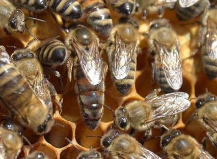 Πωλούνται βασίλισσες από την Μελισσοκομία Τσιμίνη