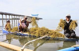 cara mengolah rumput laut kering menjadi minuman,cara mengolah rumput laut untuk es campur,cara mengolah rumput laut menjadi agar-agar,cara mengolah rumput laut menjadi keripik,