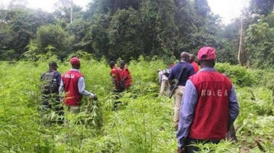 NDLEA arrests 7 suspects and seized cannabis that worth N1.4bn