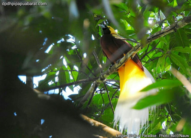 A male Lesser Birds of Paradise