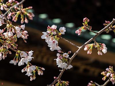Somei-yoshino (prunus yedoensis) cherry flowers: Kencho-ji