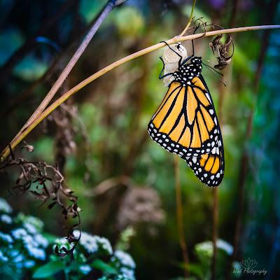 Monarch just born