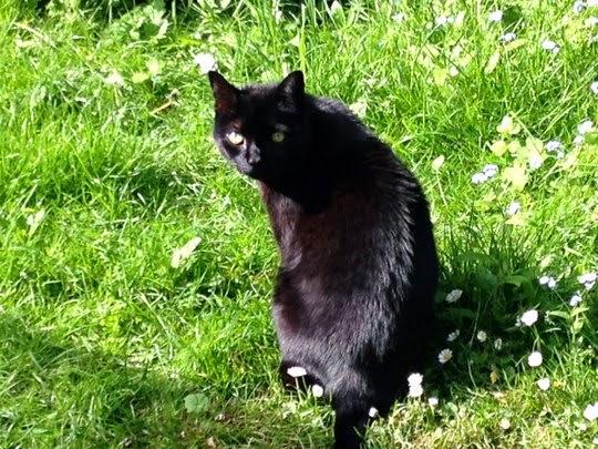 Smokey black cat