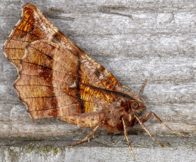Early Thorn, Selenia dentaria.  In my garden light trap on 21 April 2018.