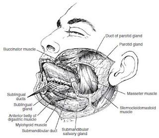 large salivary glands anatomy