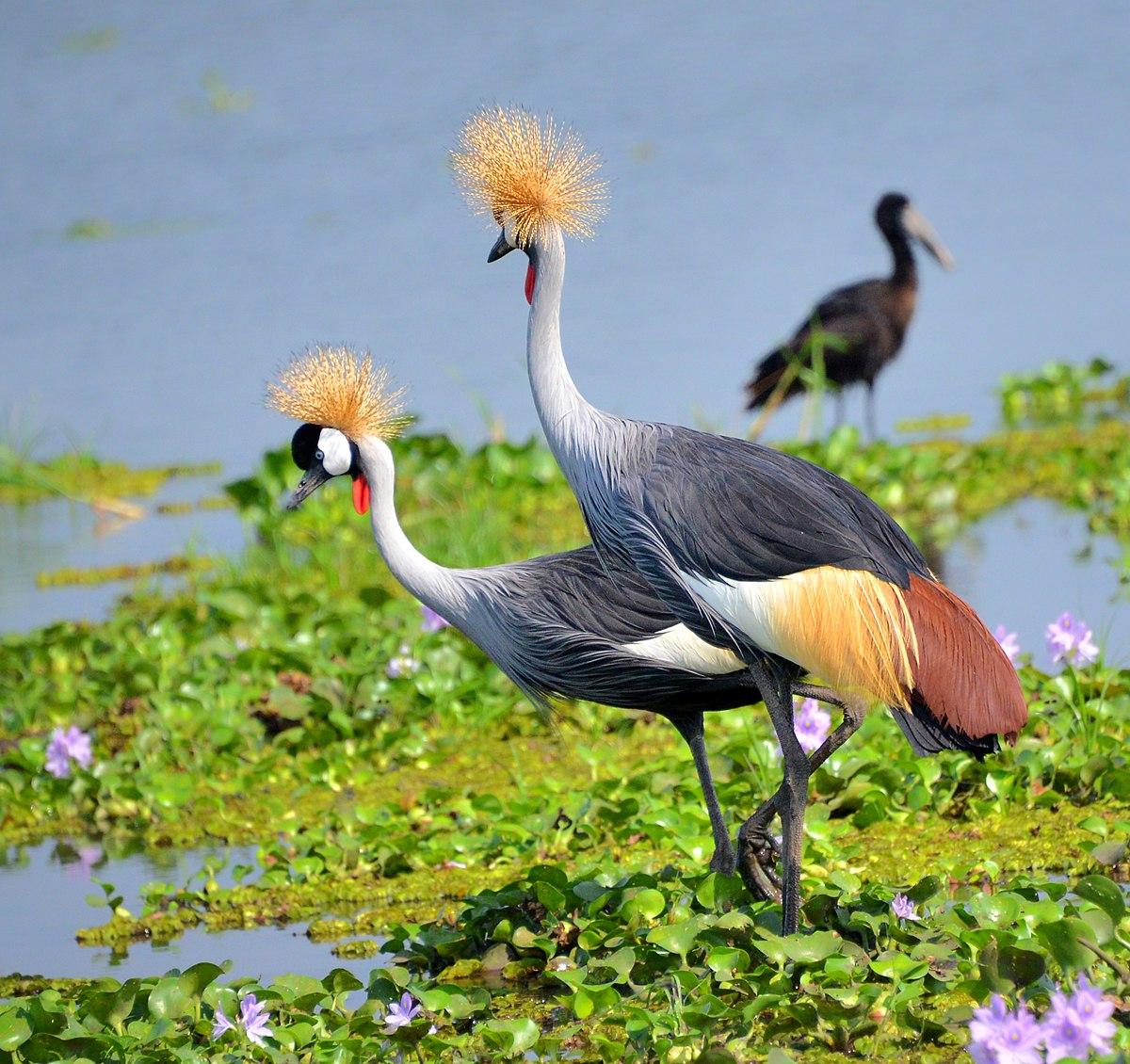 Uganda's Prestigious National bird- the Grey Crowned Crane