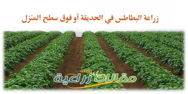 كيفية زراعة البطاطس فى الحديقة او فوق سطح المنازل - مقالات زراعية
