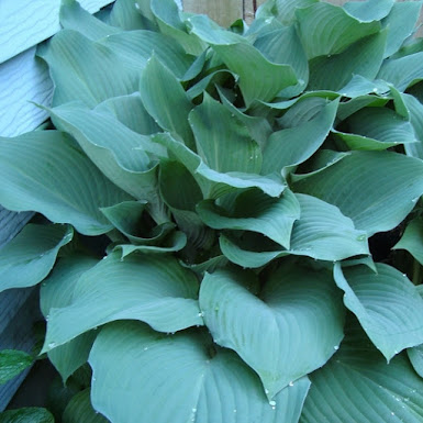 Closeup of powdery blue hosta leaves