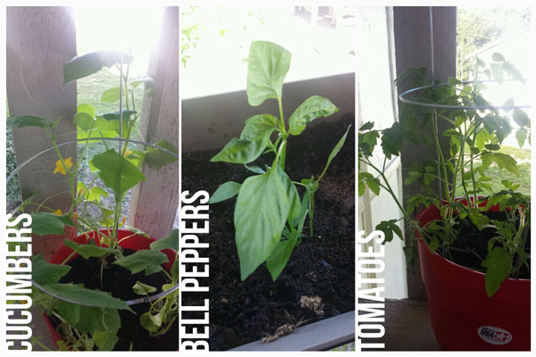 Wordless Wednesday, Link Up, Urban Gardening, balcony, cucumbers, tomatoes, bell peppers, gardening, homegrown, veggies, plant veggies on your balcony