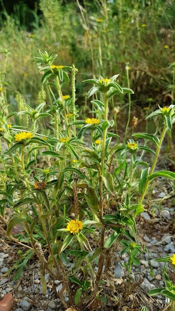 Panellis spinosa - Castañuela - Ojo de buey