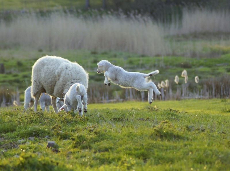 Schafe und ihr natürliches Wollwachs