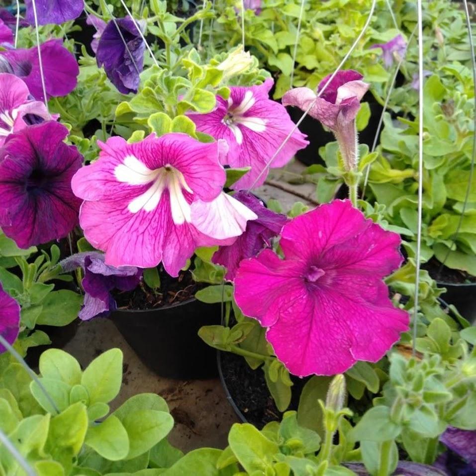 tanaman hias bunga petunia Banda Aceh