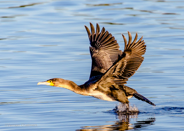 White-breasted cormorant in Flight: Canon EOS 6D / EF 70-300mm f/4 - 5.6L IS USM Lens