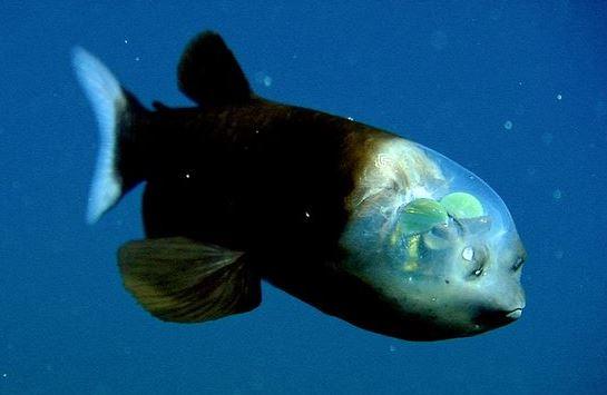 Ikan Kepala Transparan