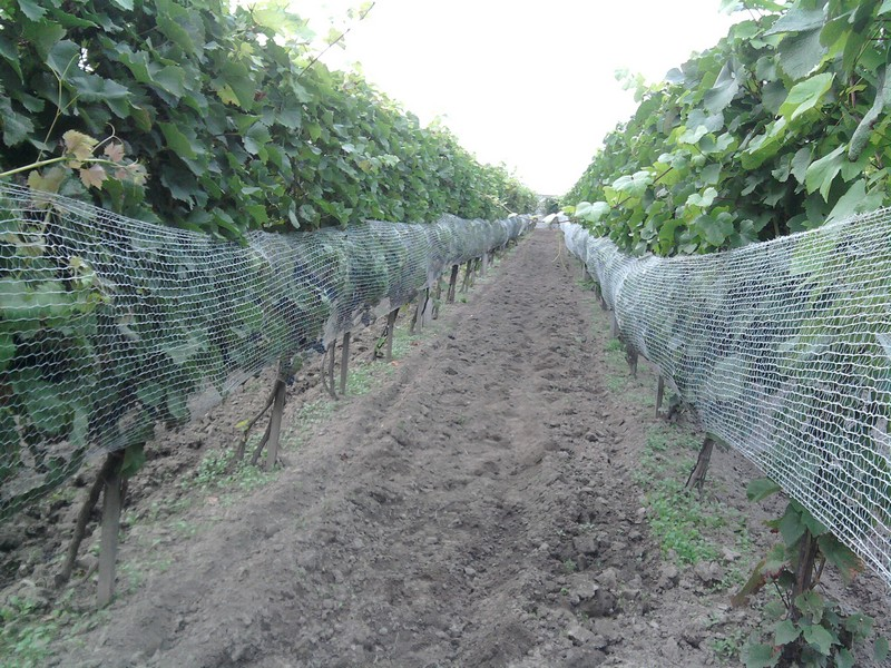 winorośl pinot noir precoce