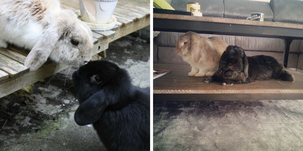 Baloo et Bidibulle couple de lapins bélier