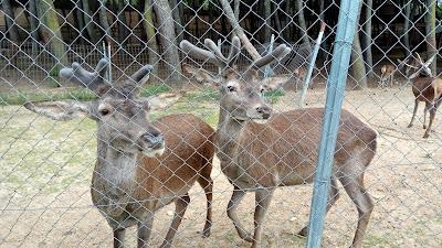 Dos gamos al otro lado de la valla